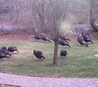 81f0d-turkeys